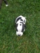 American Staffordshire Terrier Puppy For Sale in AKRON, OH, USA