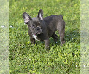 French Bulldog Puppy for Sale in NAPLES, Florida USA