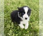 Small #14 Australian Shepherd