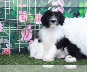 Sheepadoodle Puppy for sale in MARIETTA, GA, USA