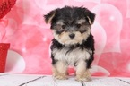 Morkie Puppy For Sale in BEL AIR, MD, USA