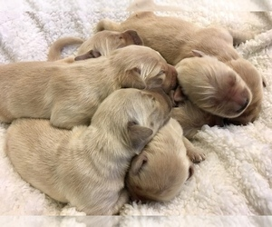 Golden Retriever Puppy for Sale in KETTLE FALLS, Washington USA