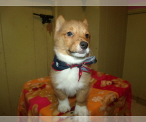 Pembroke Welsh Corgi Puppy for Sale in PATERSON, New Jersey USA