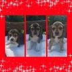Beagle Puppy For Sale in ELKRIDGE, MD, USA