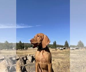 Vizsla Puppy for Sale in GOLDENDALE, Washington USA