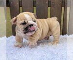 Small #3 Bulldog