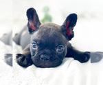 Small Photo #3 French Bulldog Puppy For Sale in CORONA, CA, USA