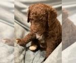 Puppy 2 Bernedoodle-Poodle (Standard) Mix