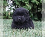 Puppy 7 Chow Chow