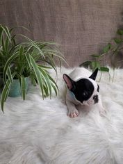 French Bulldog Puppy For Sale in REVERE, MA, USA