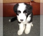Puppy 2 Bearded Collie