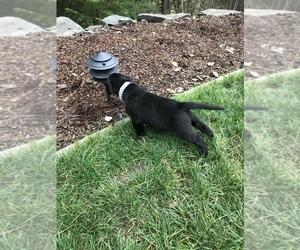 Labrador Retriever Puppy for Sale in TACOMA, Washington USA