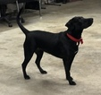 Labrador Retriever-Unknown Mix Puppy For Sale in CLEVELAND, TN, USA