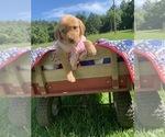 Puppy 1 Goldendoodle-Labrador Retriever Mix