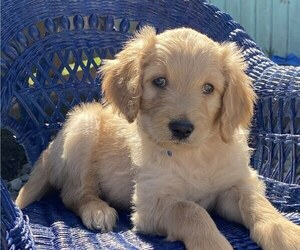 Golden Retriever-Goldendoodle Mix Puppy for Sale in SEASIDE, Oregon USA