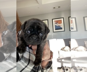 Pug Puppy for Sale in CHICO, California USA