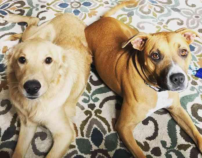 Boxer-Golden Retriever Mix dog