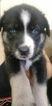 Puppy 1 Alaskan Husky-German Shepherd Dog Mix