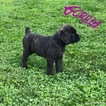 Cane Corso Puppy For Sale in WHITEFORD, MD, USA