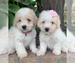 Maltipoo Puppy for Sale in TEMECULA, California USA