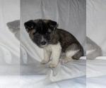 Puppy 3 Akita