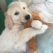 Golden Retriever Puppy For Sale in FRESNO, California,