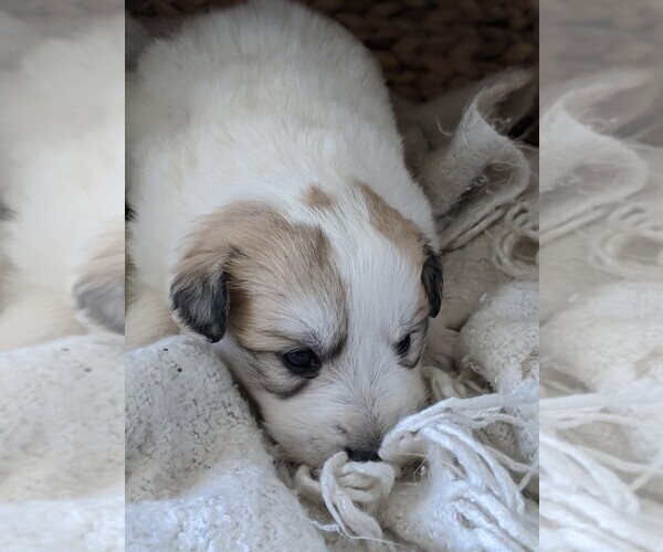 Medium Photo #33 Great Pyrenees Puppy For Sale in FALCON, CO, USA