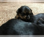 Small #1 Silkshire Terrier-Yorkshire Terrier Mix