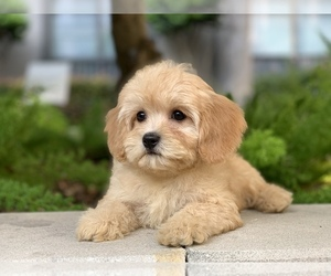Cavachon Puppy for Sale in HOUSTON, Texas USA