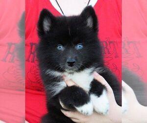 Huskimo Puppy for Sale in SEBRING, Florida USA