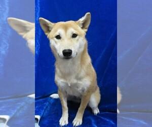 Shiba Inu Puppy for Sale in HARTVILLE, Missouri USA