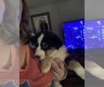 Puppy 1 Shel-Aussie-Shetland Sheepdog Mix