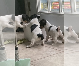 Jack Russell Terrier Puppy for sale in CIRCLEVILLE, OH, USA