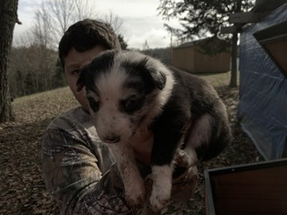 Puppyfinder com: Border Collie puppies puppies for sale near me in