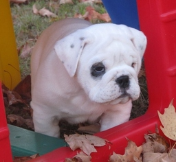 Bulldog Puppy For Sale in BROOKTONDALE, NY