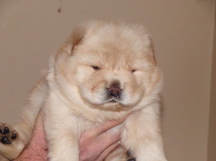 Chow Chow Puppy For Sale in BOON, MI, USA