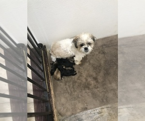 Shih Tzu Puppy for sale in STOKESDALE, NC, USA