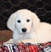 Golden Retriever Puppy For Sale in WEST PLAINS, MO, USA