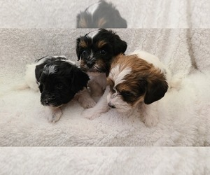 Poodle (Toy)-Yorkshire Terrier Mix Puppy for sale in GRANDVILLE, MI, USA