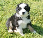 Australian Shepherd Puppy For Sale in TUSCALOOSA, Alabama,