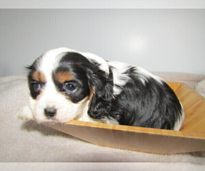 Cavalier King Charles Spaniel Puppy for sale in DETROIT, MI, USA