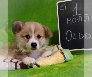 Pembroke Welsh Corgi Puppy for sale in Dnipro, Dnipro, Ukraine