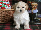 Zuchon Puppy For Sale in MOUNT JOY, PA, USA