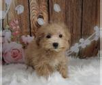 Puppy 8 Maltipoo