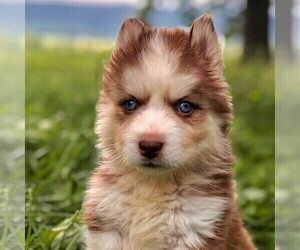 Siberian Husky Puppy for sale in DRY RUN, PA, USA