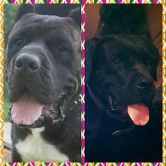 Cane Corso Puppy for sale in SALINA, KS, USA