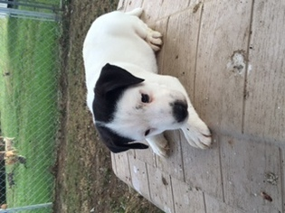 Jack Russell Terrier Puppy For Sale in BELL BUCKLE, TN, USA