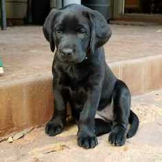 Labrador Retriever Puppy for Sale in LEANDER, Texas USA