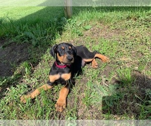 Doberman Pinscher Dog for Adoption in GREENTOP, Missouri USA