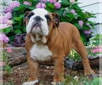Puppy 9 English Bulldog